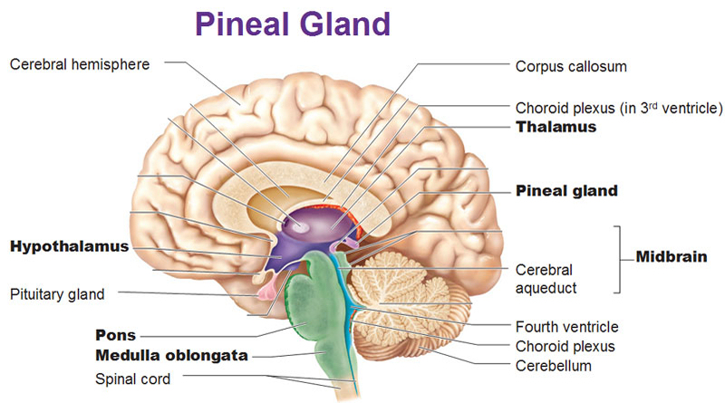 Pineal Gland Our Third Eye: The Biggest cover-up in human history ...