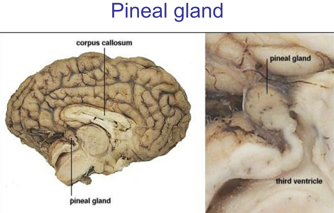 Pineal Gland and Third Eye - In Depth Research - Awaken Consciousness
