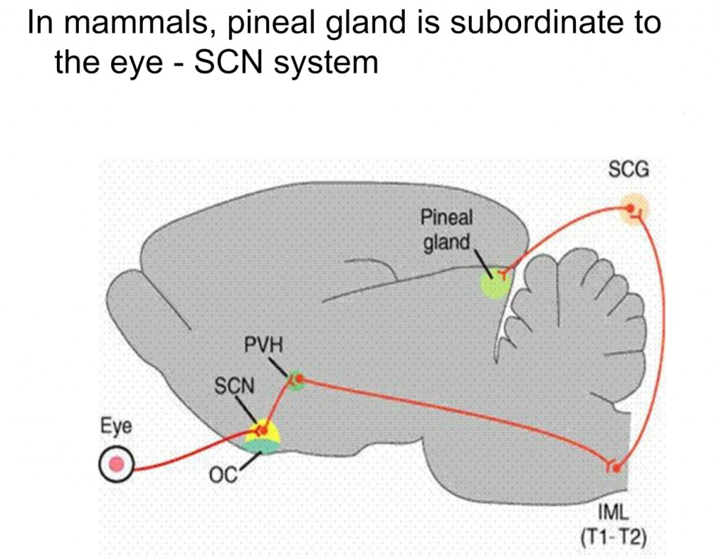Pineal Gland and Third Eye - In Depth Research